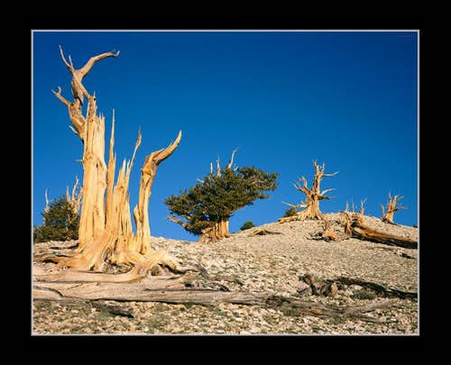 Dolomite Hill of Bristlecone Snags