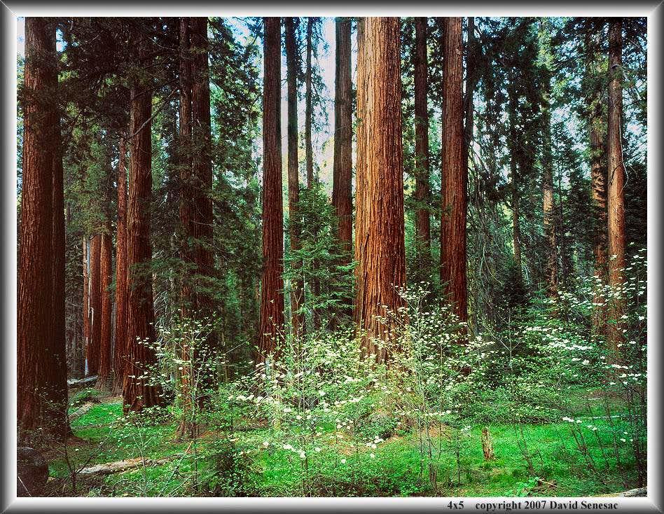 Giant Forest & dogwood