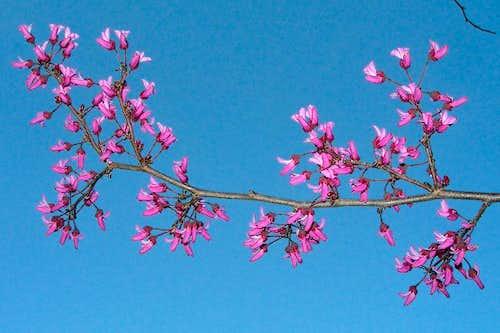 Redbud branch up in sky