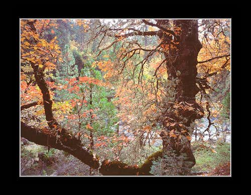 Fall color of a Black Oak