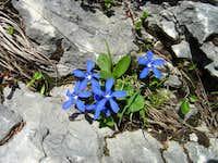 <b>Spring Gentian</b> - <i>Gentiana verna</i>