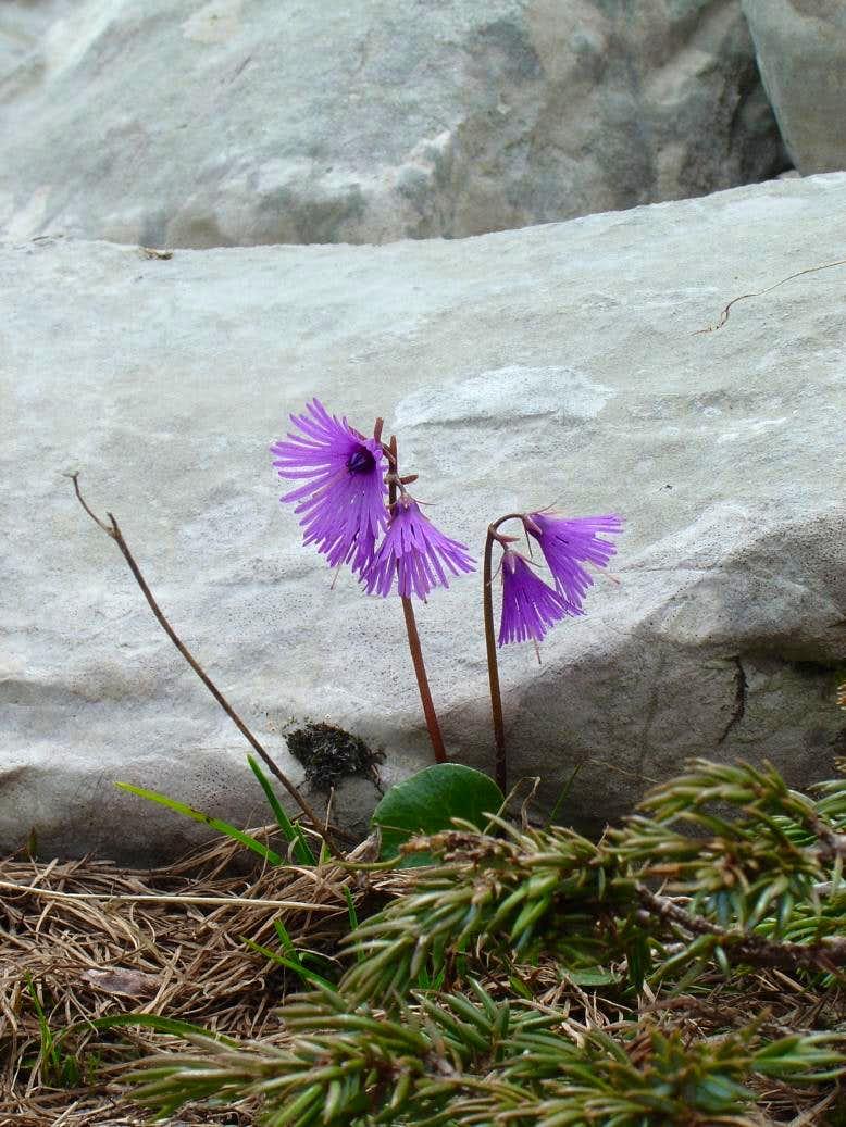<b>Alpine Snowbell</b> - <i>Soldanella alpina</i>