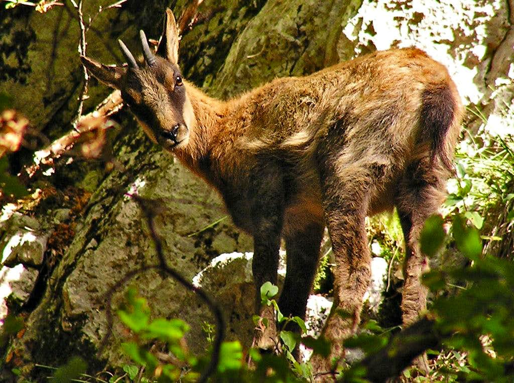 Little chamois