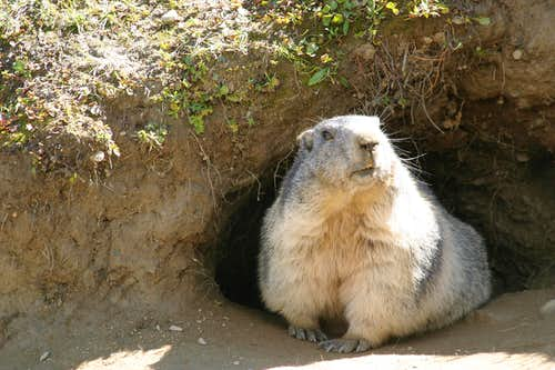 One well fed marmot!