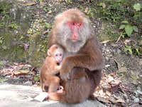 Monkeys of Emei Shan