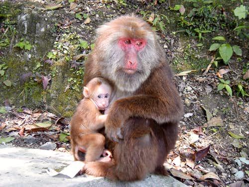 Monkeys of Emei Shan