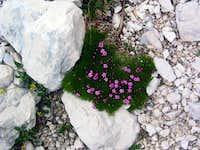 flora of Julian Alps - Jalovec