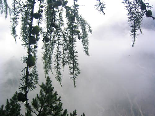 Alpine larch - Visoka Ponca