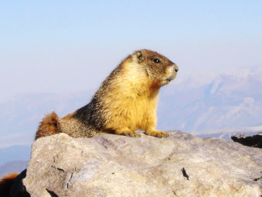 The Dana Marmot