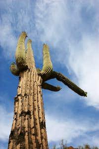 Towering Saguaro-Camelback Mountain