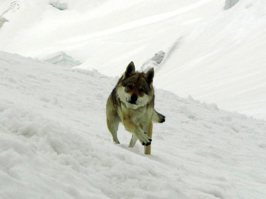Wolf on the glacier