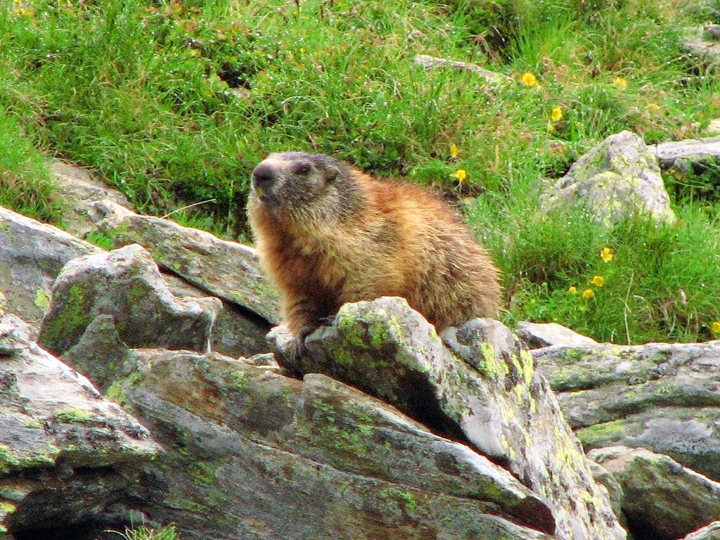 Exhibitionist marmot under Rifugio Carate