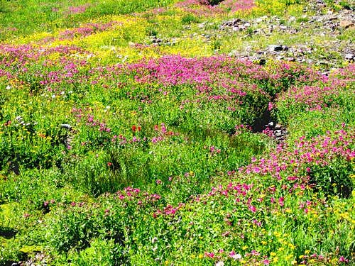 Logan Pass Flowers