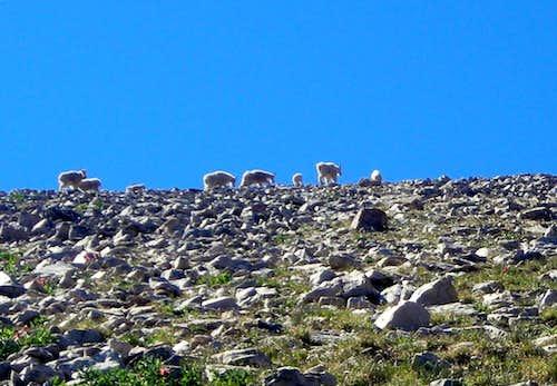 Mountain Goats on Mt. Marsell