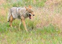Coyote (Canis latrans) in Rocky Mountain National Park