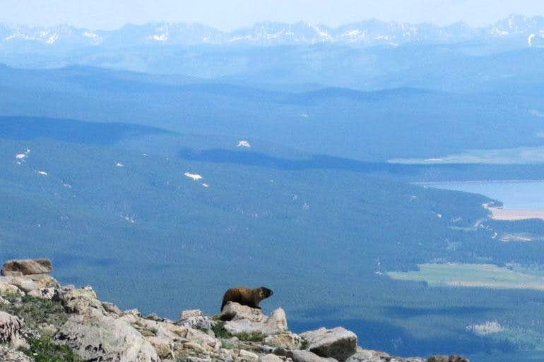 Marmot on Mt. Elbert