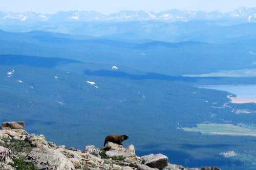 Marmot on Mt. Elbert