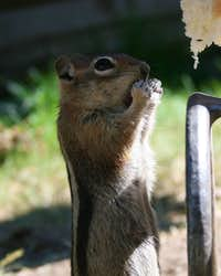Ground Squirrels and Hotdog Buns