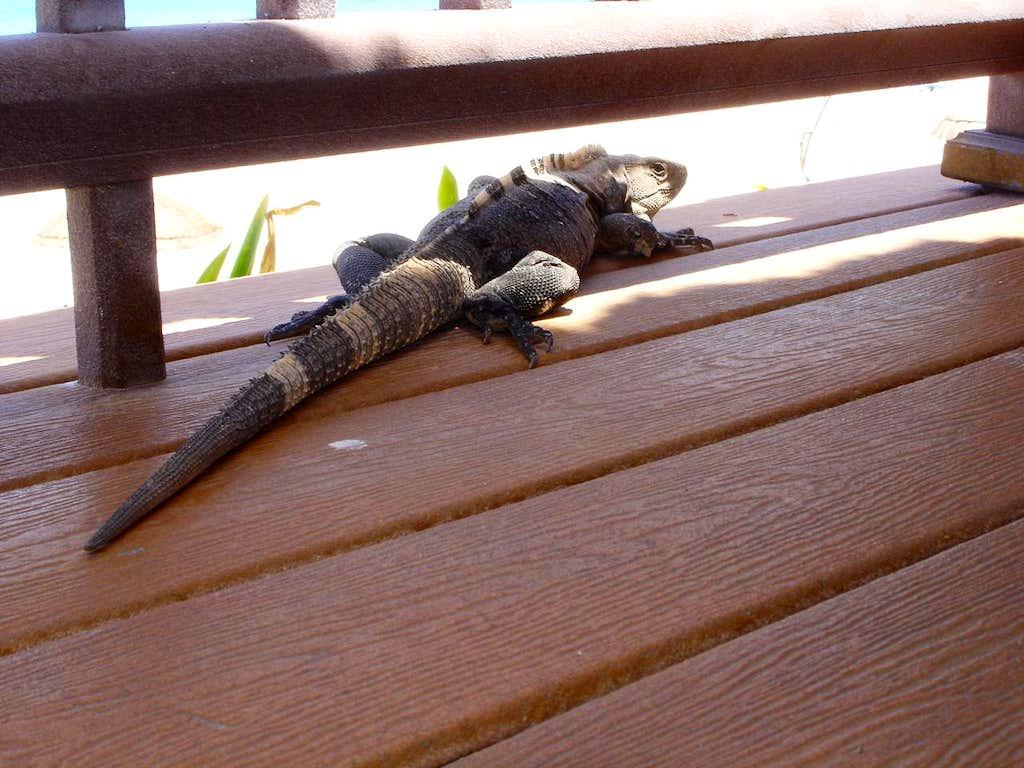 Mexican Lizard