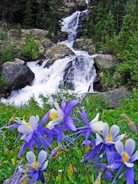 Cascade Creek Columbines