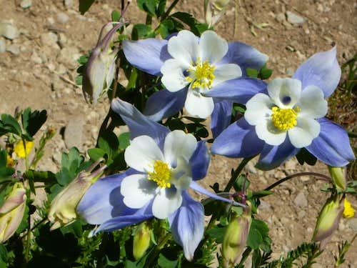 Columbine Wildflowers