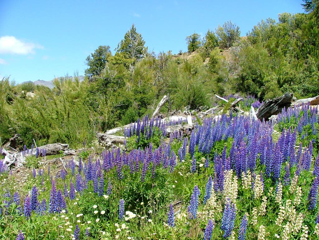 Flowers of Patagonia