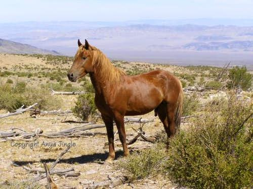 Wild Mustang near North Canyon