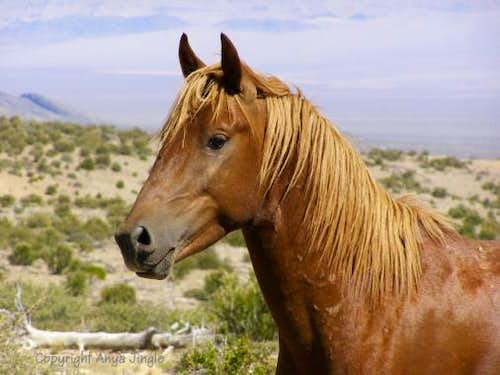 Portrait of a Wild Mustang