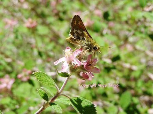 Nevada Skipper