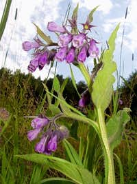 Purple Comfrey