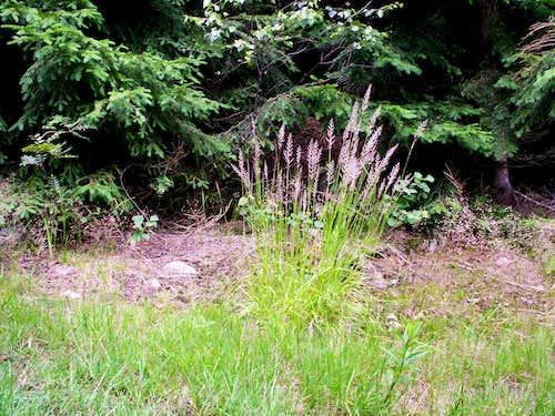 Calamagrostis...