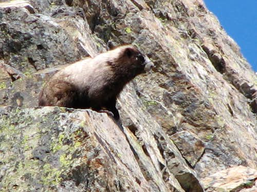 Marmot in the Goat Rocks