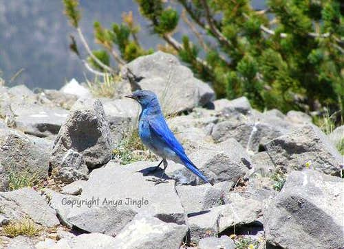 My third encounter with Mountain Bluebird