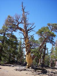Lodgepole Pine at the summit of Grinnell Mountain