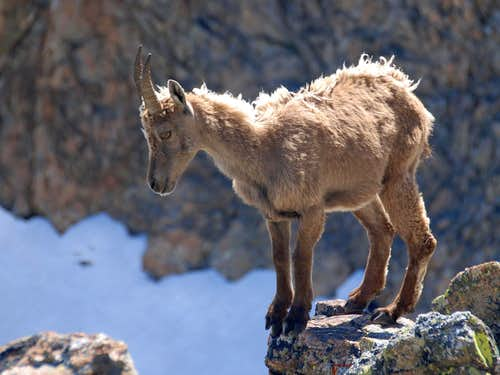 Little ibex