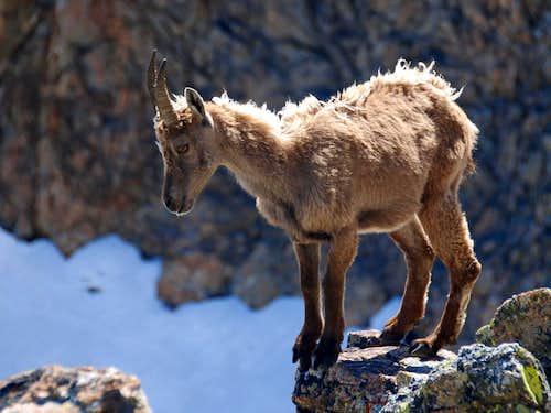 Little ibex