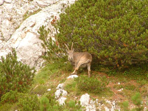 Ibex on Triglav