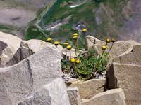 Yellow Flower on Timp's Summit