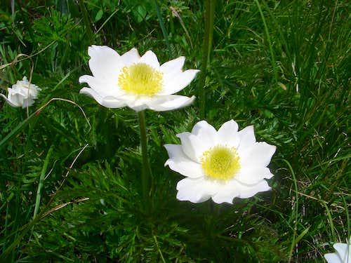 Ecrins Alps - Anemone Pulsatilla Vernallis