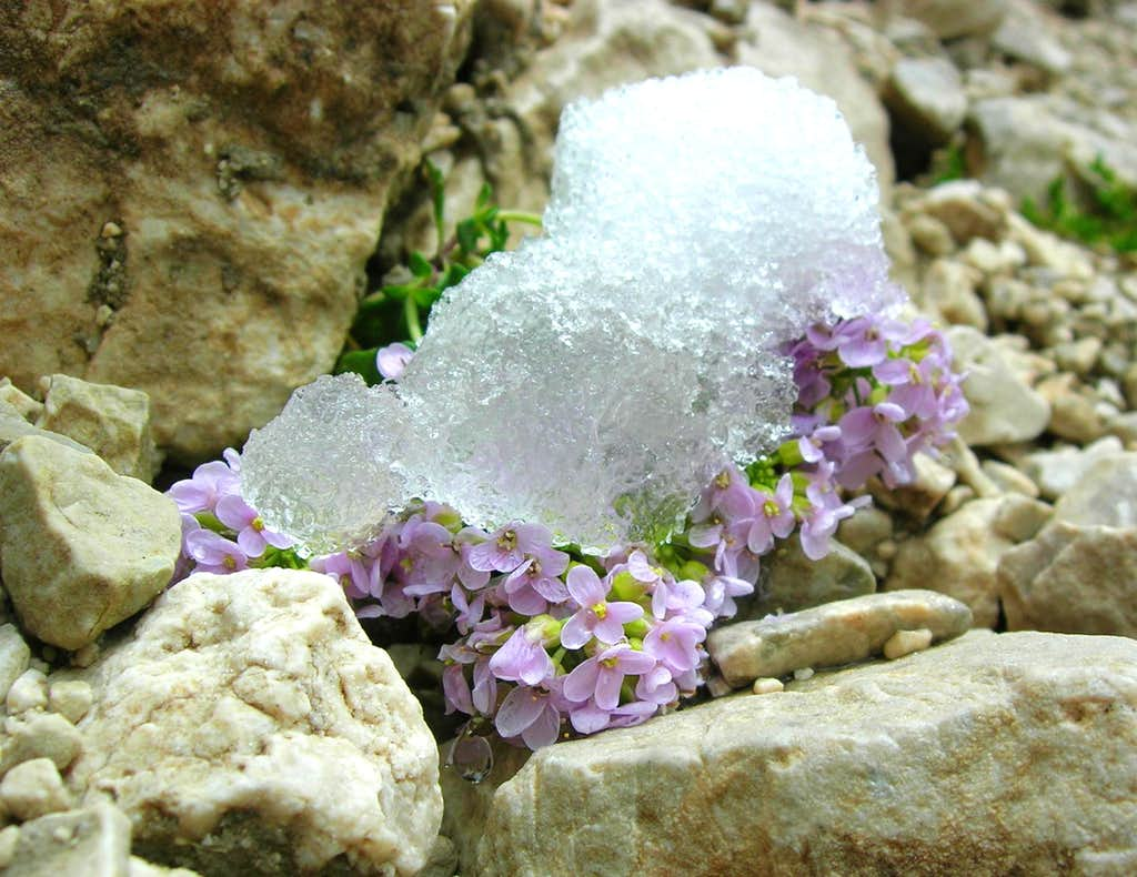 Alpine Rock Jasmine in the snow <b><i>Androsace alpina
