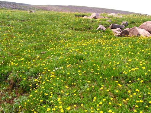 buttercups  just below Gilbert Peak