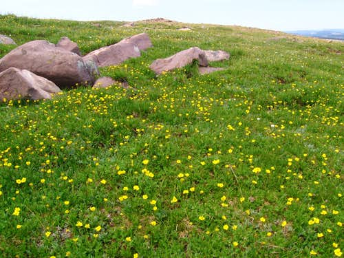 buttercups near Gilbert Peak