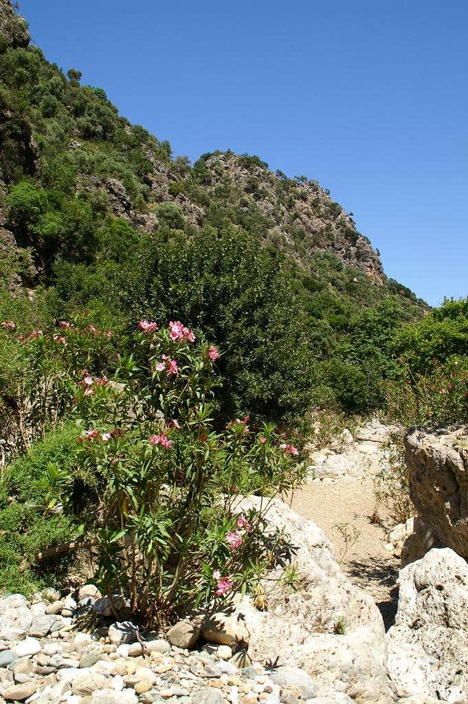 Oleander everywhere
