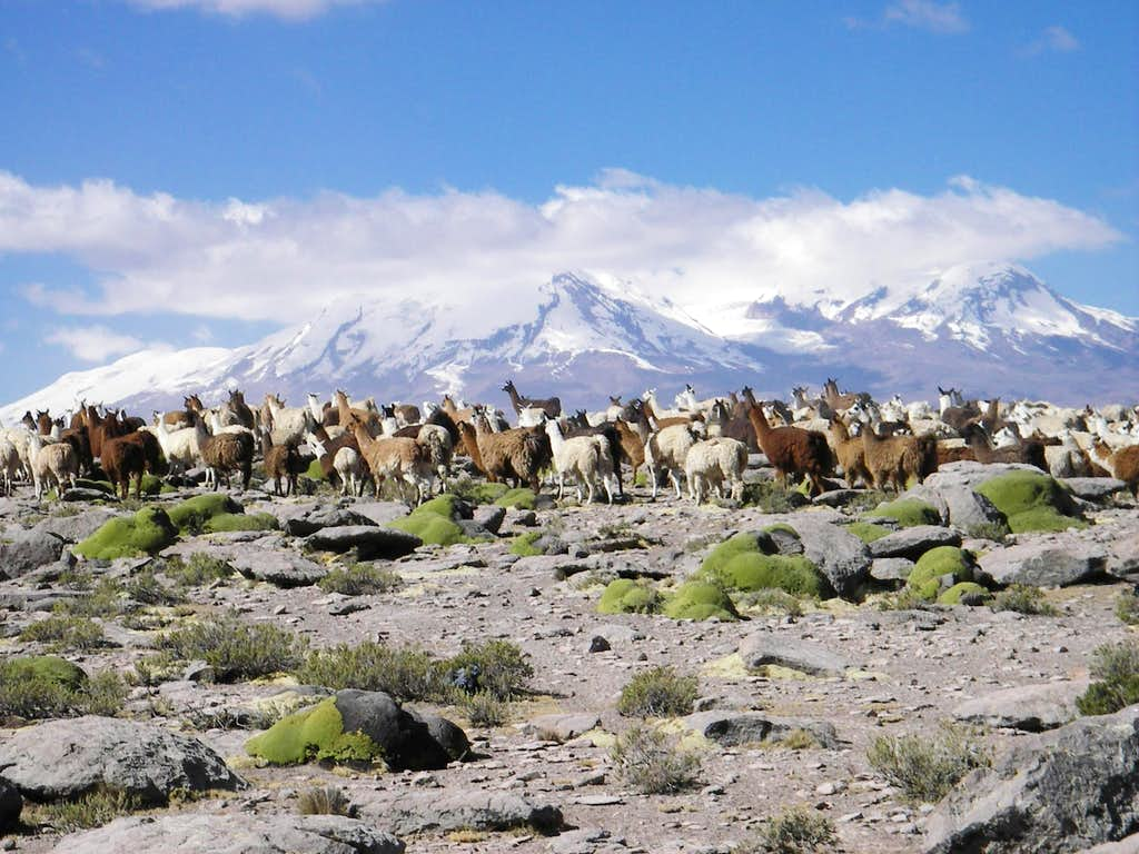 A Herd of Llamas and Nevado Coropuna