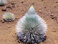 Haleakalâ silversword getting ready to flower
