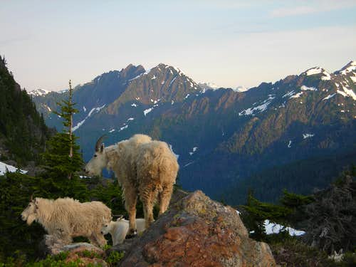 Mtn Goat Kingdom