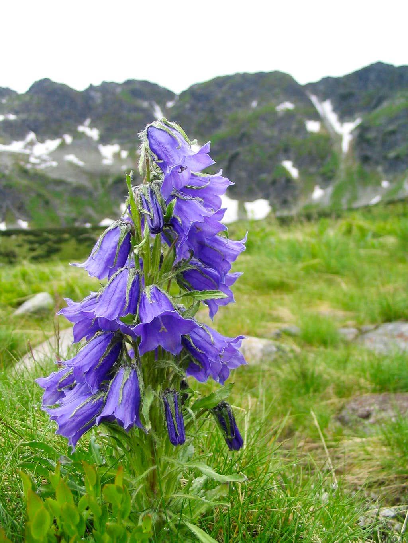 Campanula alpina II