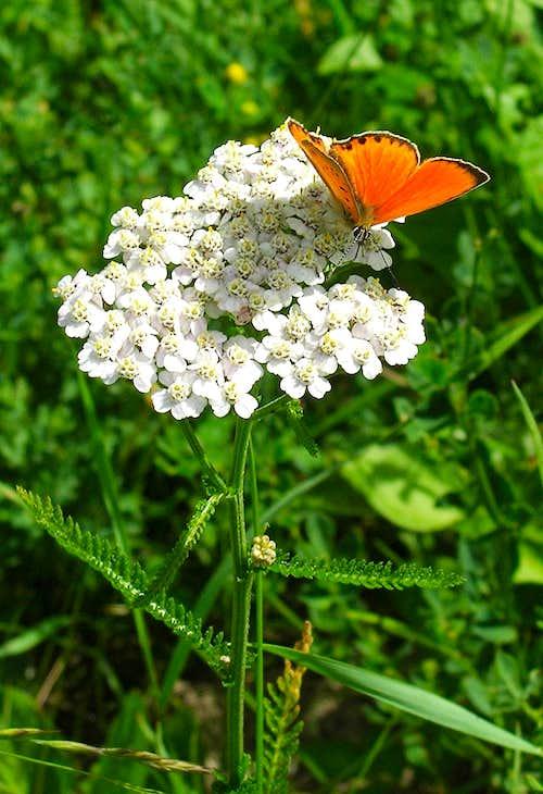 <b><i>Achillea tanacetifolia</b></i> with orange butterfly