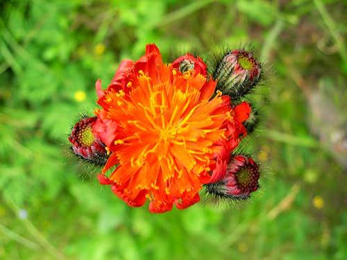 orange hawkweed <b><i>Pilosella aurantiaca