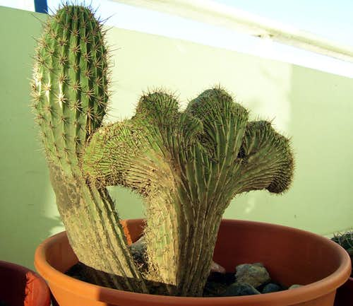 Cactus Monstruosa